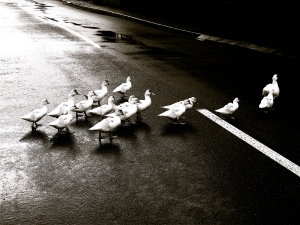 ducks crossing after the storm